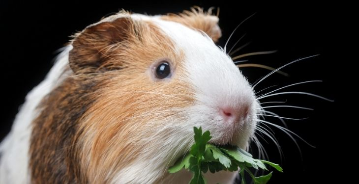 Guinea PIGs eating parsley