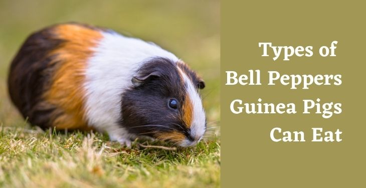 Types of bell peppers that guinea pigs can eat