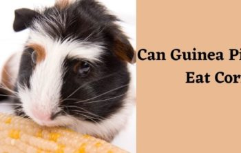 can guinea pigs eat corn