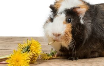 can guinea pigs eat dandelions