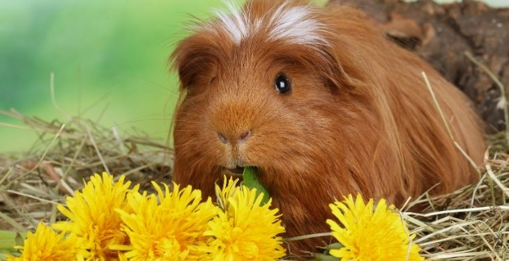 can guinea pigs eat dandelionss