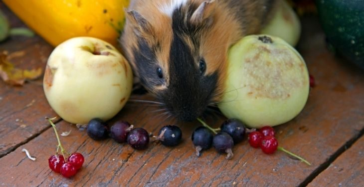 can guinea pigs eat fruits